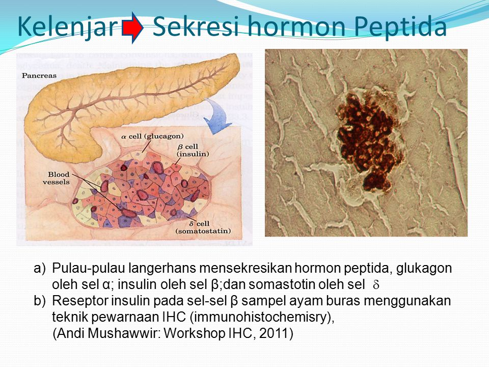Kelenjar Sekresi hormon Peptida