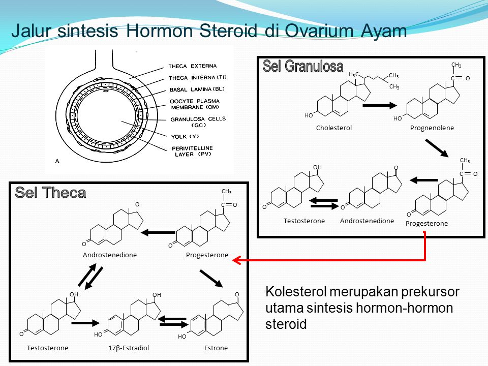 Jalur sintesis Hormon Steroid di Ovarium Ayam