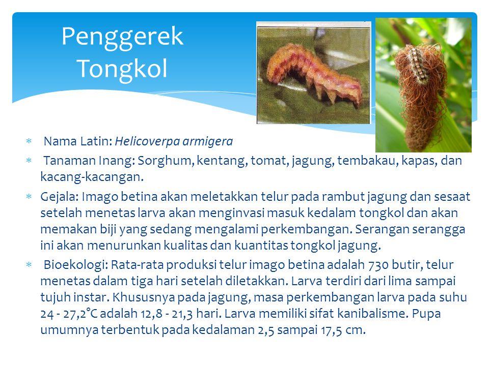 Penggerek Tongkol Nama Latin: Helicoverpa armigera