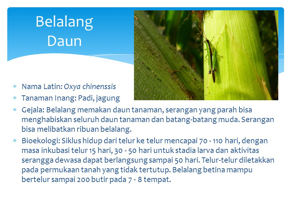 Belalang Daun Nama Latin: Oxya chinenssis Tanaman Inang: Padi, jagung