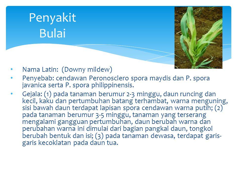 Penyakit Bulai Nama Latin: (Downy mildew)
