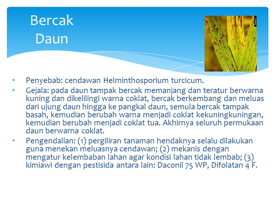Bercak Daun Penyebab: cendawan Helminthosporium turcicum.