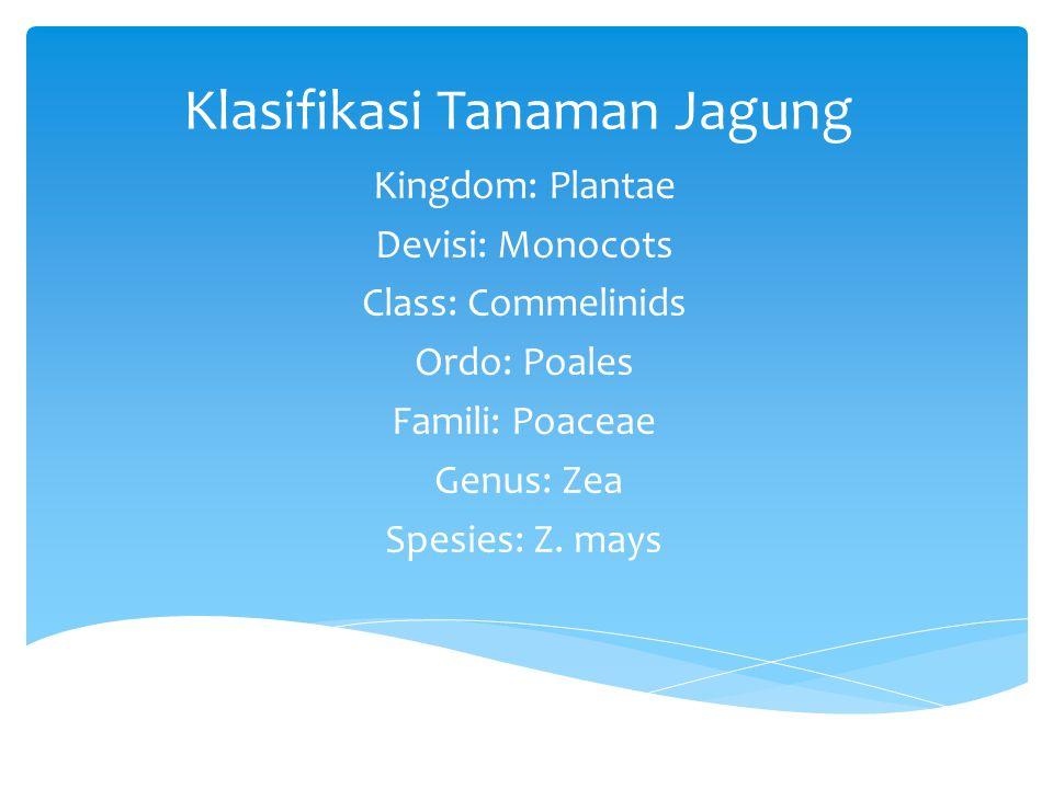 Klasifikasi Tanaman Jagung