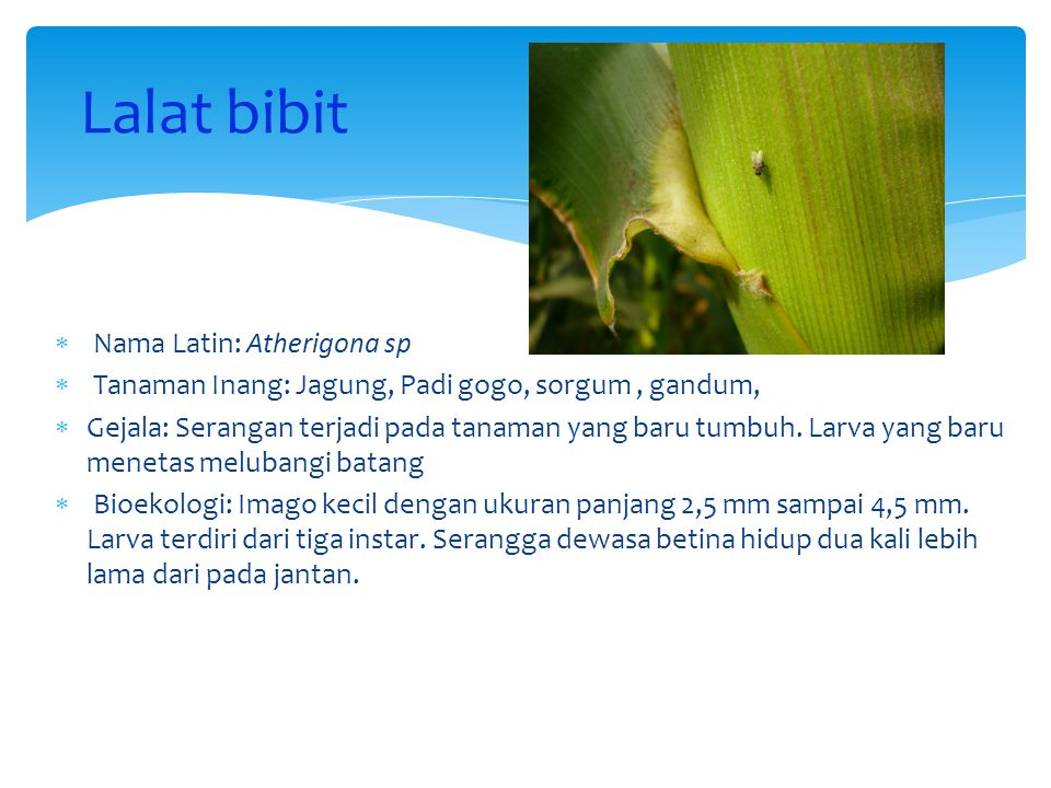 Lalat bibit Nama Latin: Atherigona sp