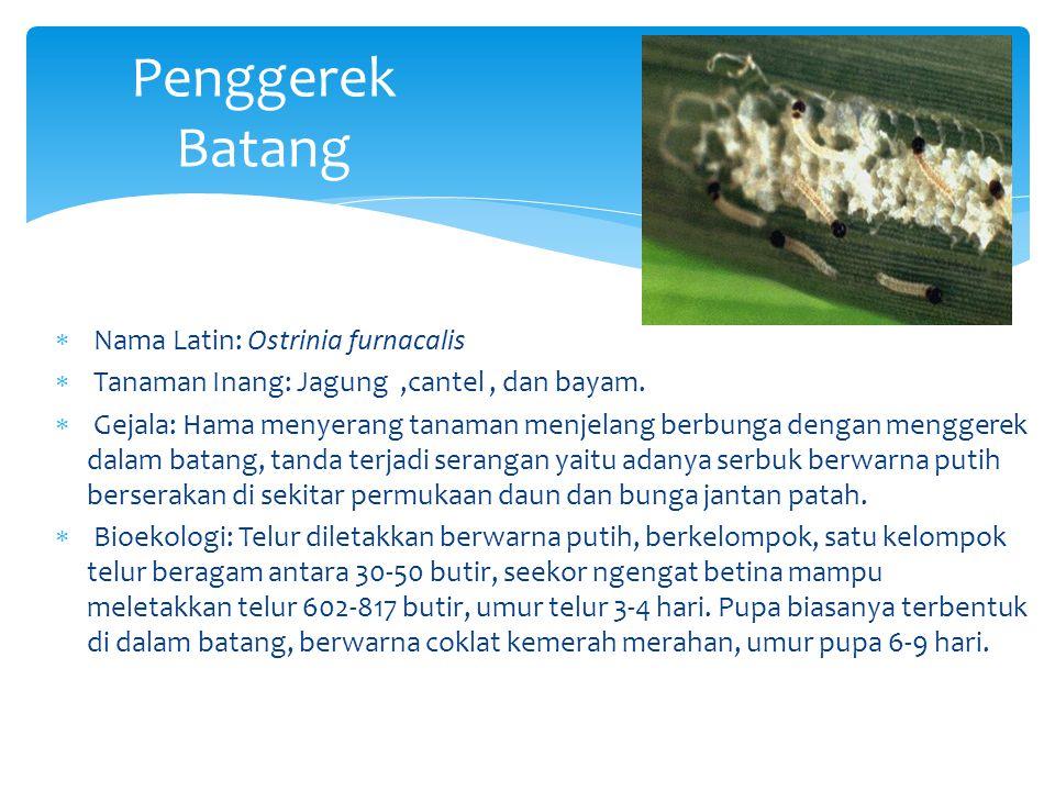Penggerek Batang Nama Latin: Ostrinia furnacalis