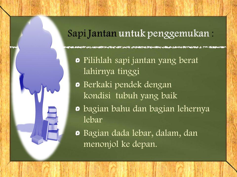 Sapi Jantan untuk penggemukan :