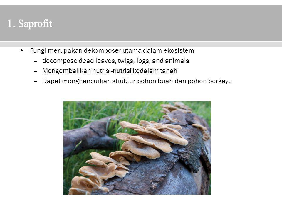 1. Saprofit Fungi merupakan dekomposer utama dalam ekosistem