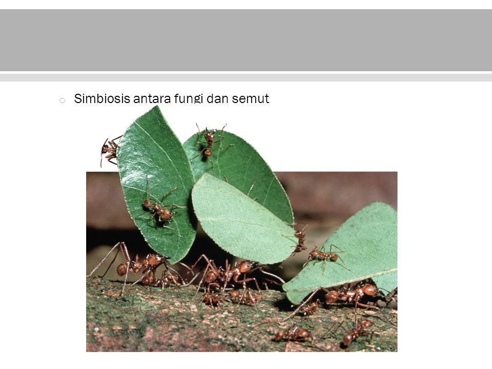 Simbiosis antara fungi dan semut