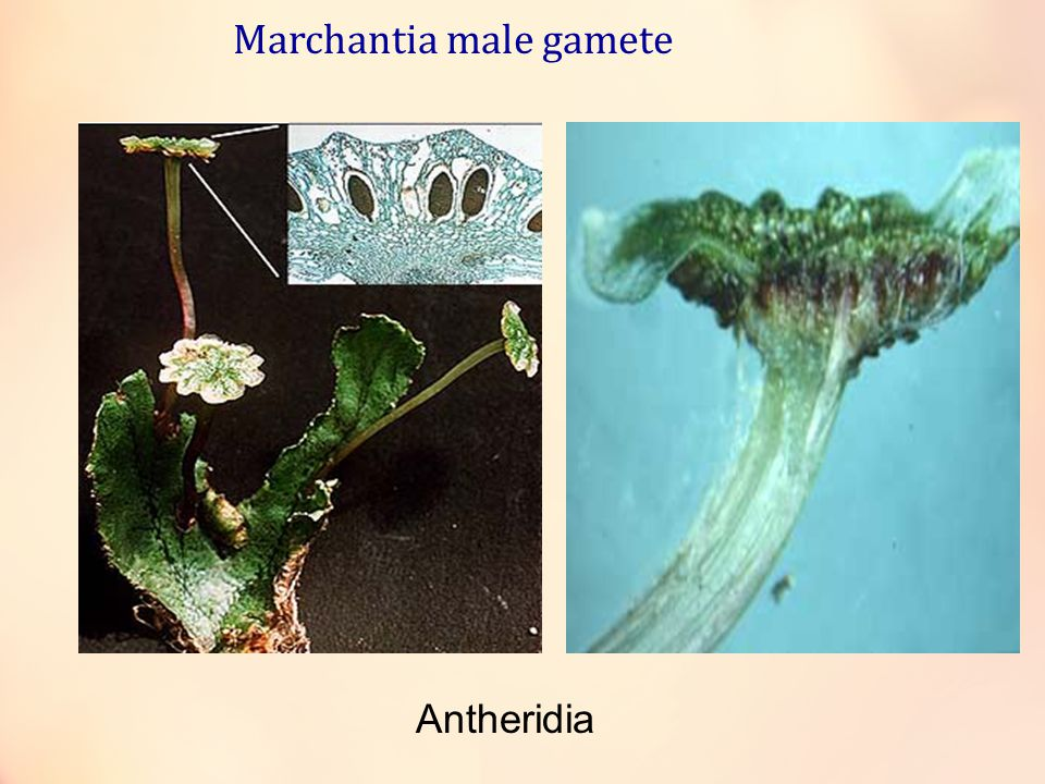 Marchantia male gamete