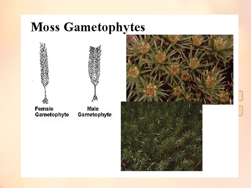 Pergiliran keturunan (Metagenesis)