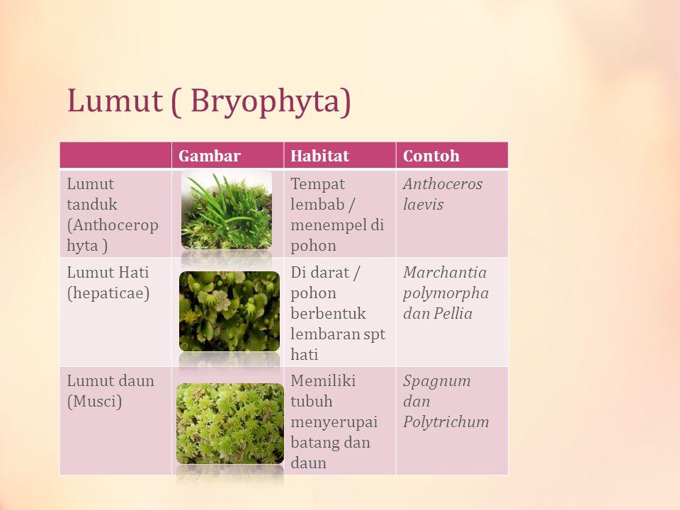 Lumut ( Bryophyta) Gambar Habitat Contoh Lumut tanduk