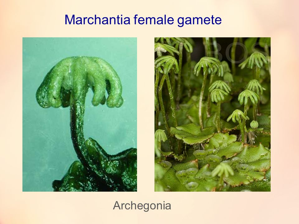 Marchantia female gamete