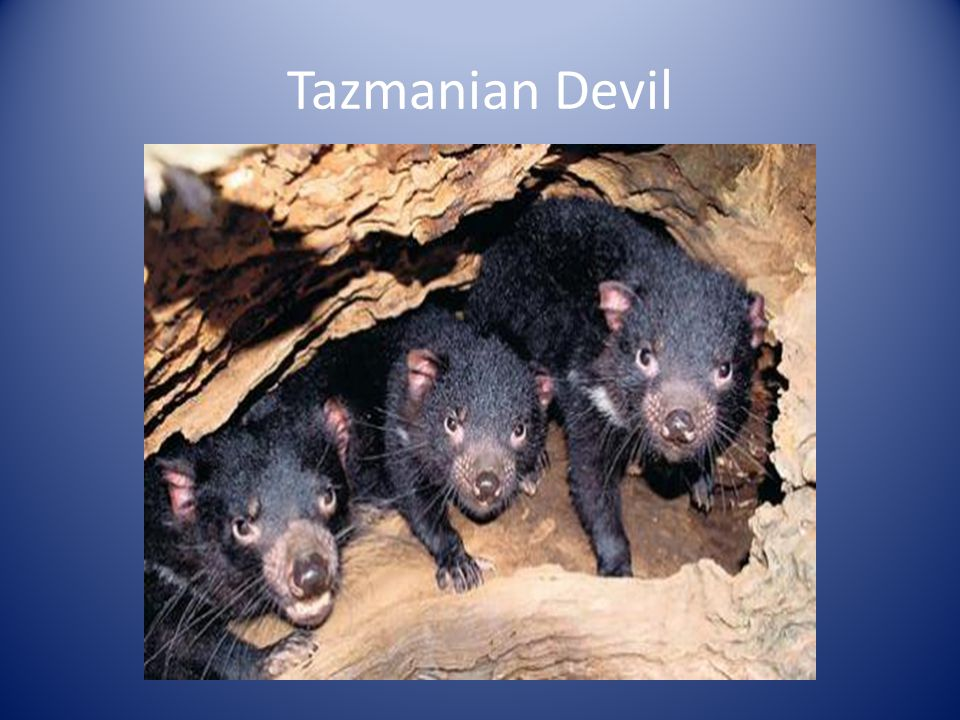 Tazmanian Devil
