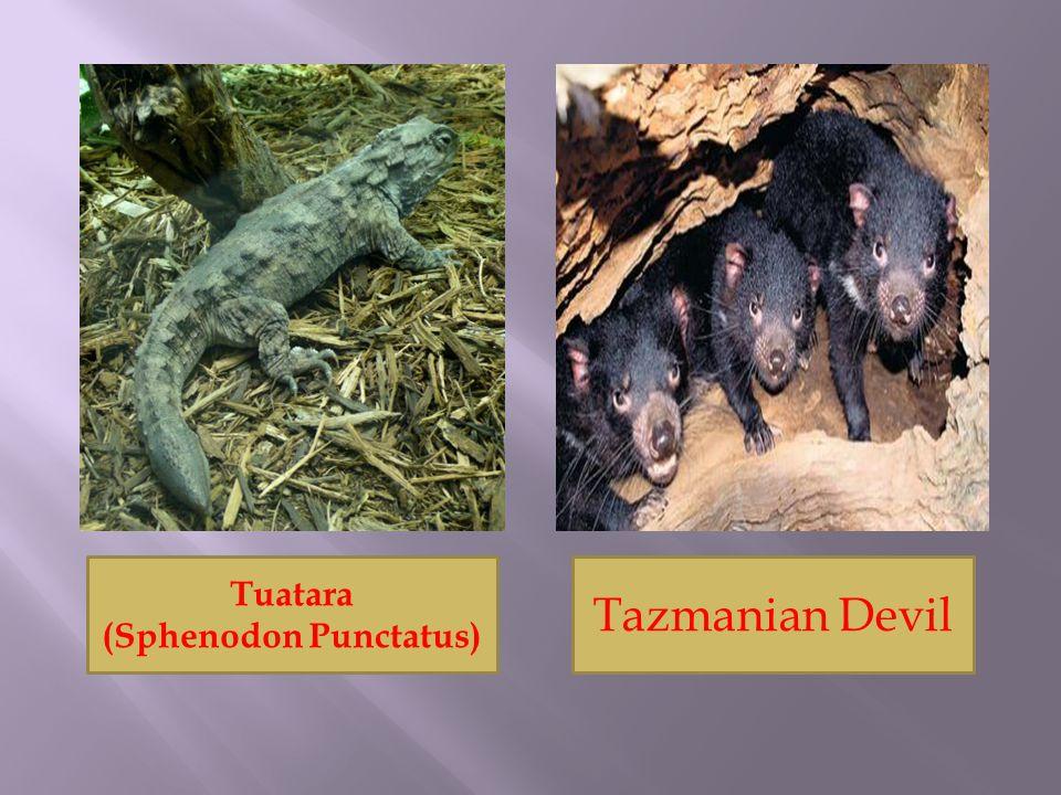 (Sphenodon Punctatus)