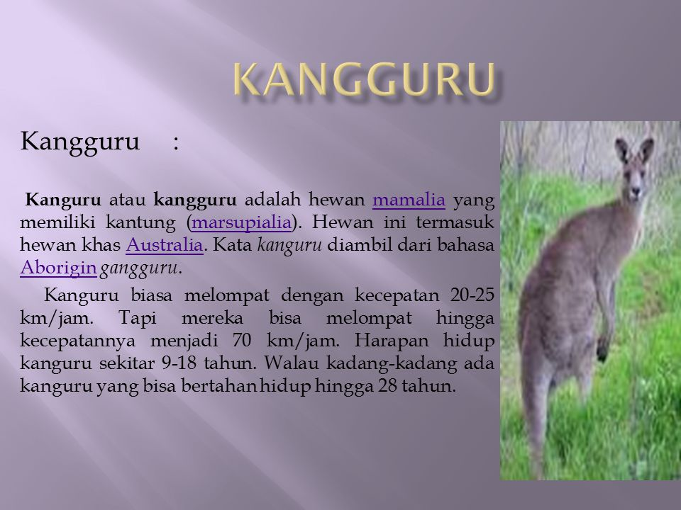 kangguru Kangguru :