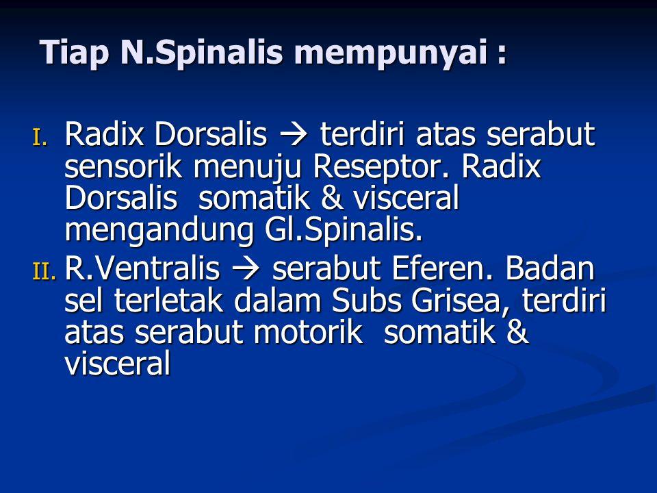 Tiap N.Spinalis mempunyai :