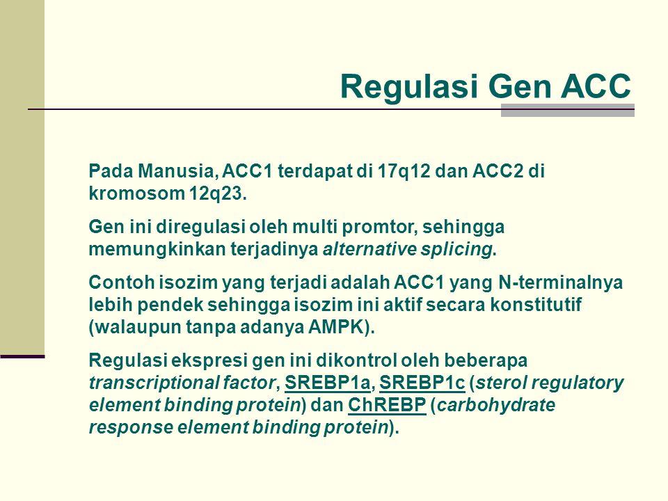 Regulasi Gen ACC Pada Manusia, ACC1 terdapat di 17q12 dan ACC2 di kromosom 12q23.