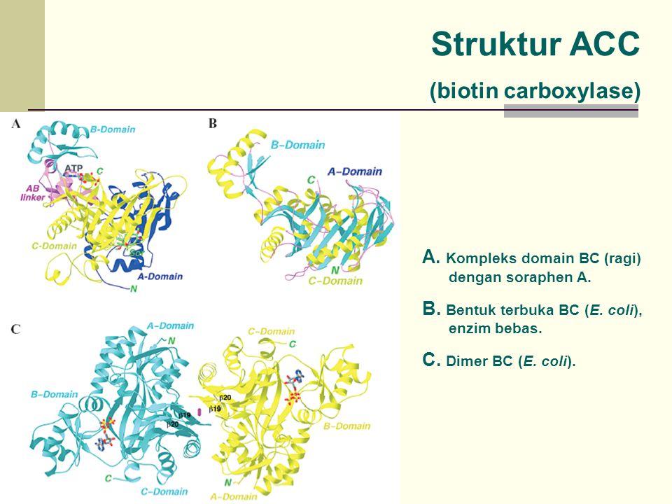 Struktur ACC (biotin carboxylase)