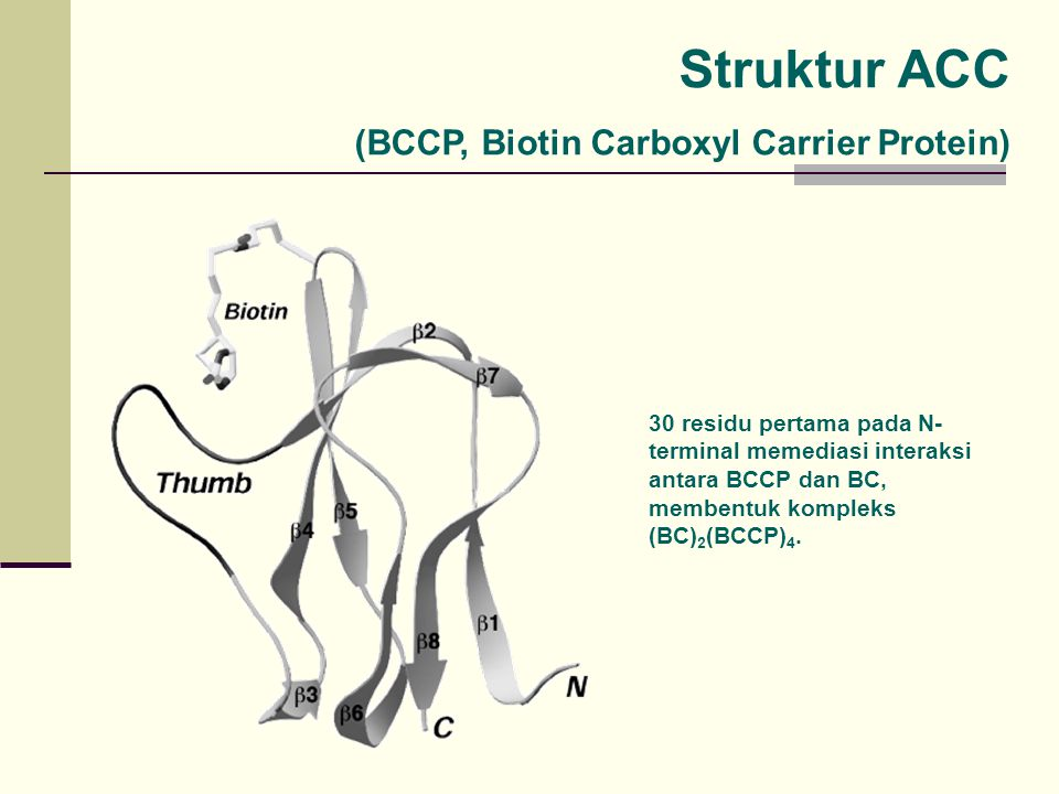 Struktur ACC (BCCP, Biotin Carboxyl Carrier Protein)