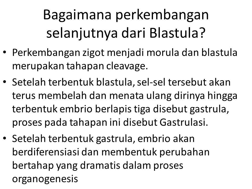 Bagaimana perkembangan selanjutnya dari Blastula