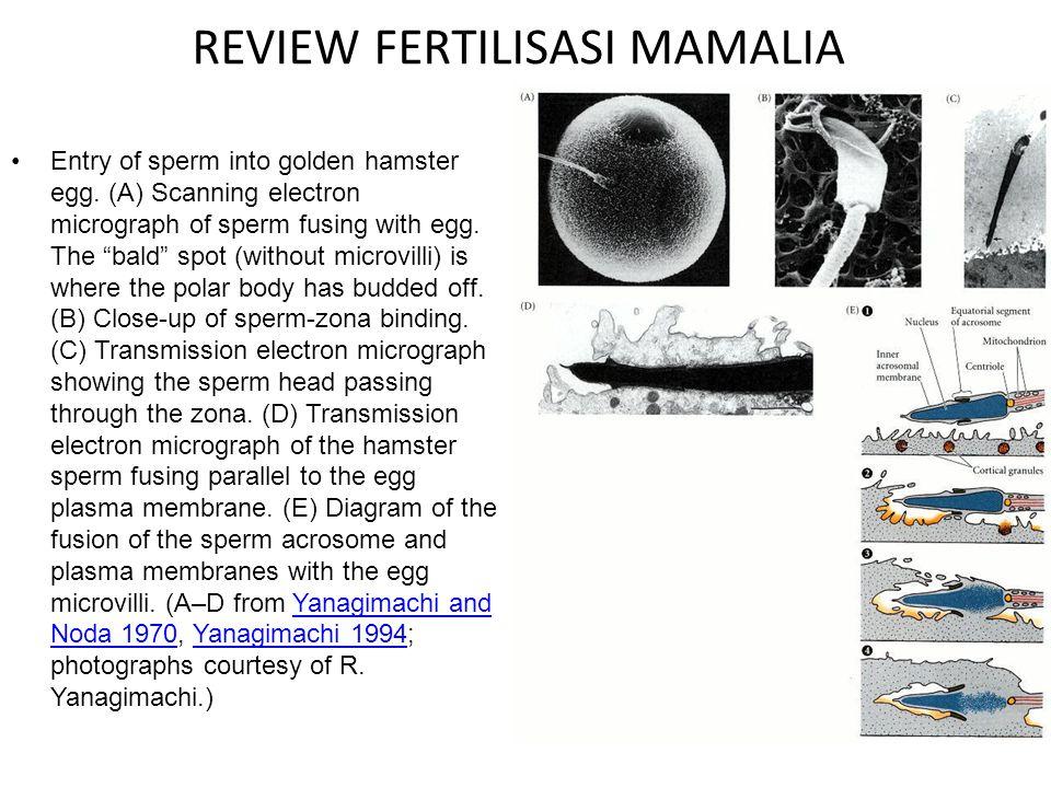 REVIEW FERTILISASI MAMALIA