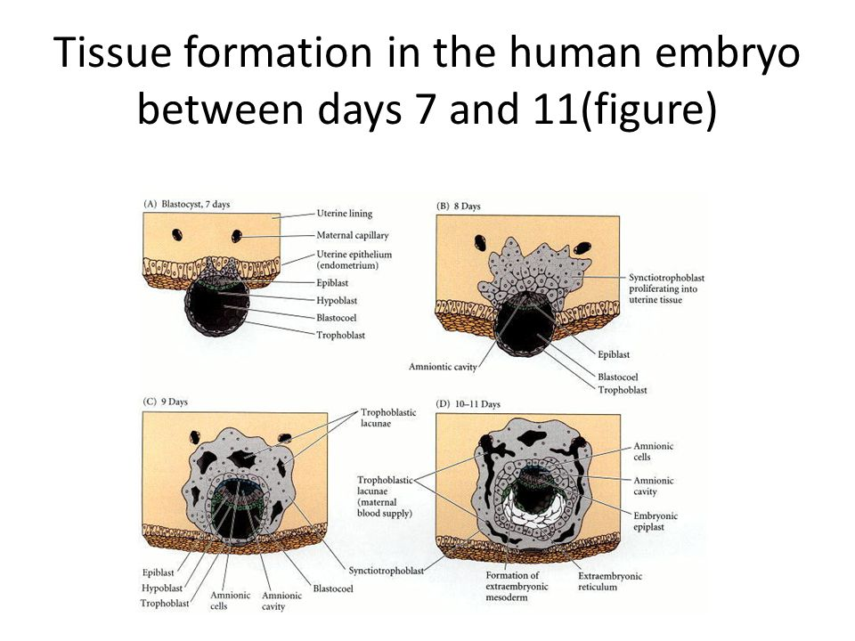 Tissue formation in the human embryo between days 7 and 11(figure)