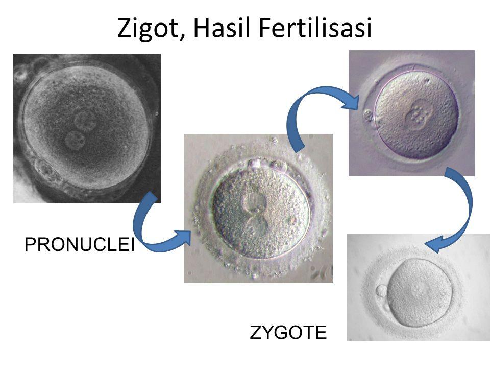 Zigot, Hasil Fertilisasi