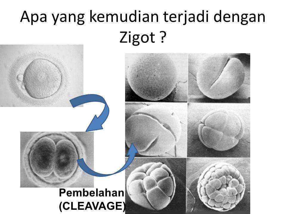Apa yang kemudian terjadi dengan Zigot