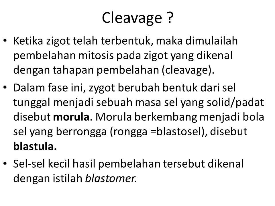 Cleavage Ketika zigot telah terbentuk, maka dimulailah pembelahan mitosis pada zigot yang dikenal dengan tahapan pembelahan (cleavage).