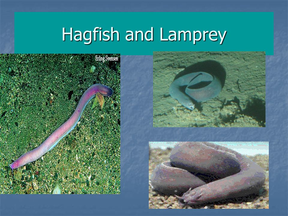 Hagfish and Lamprey