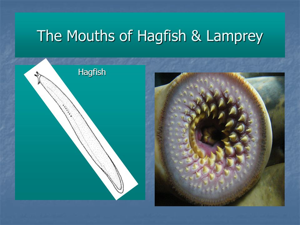 The Mouths of Hagfish & Lamprey