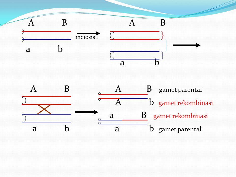 A B A B meiosis I a b a b A B A B gamet parental A b gamet rekombinasi
