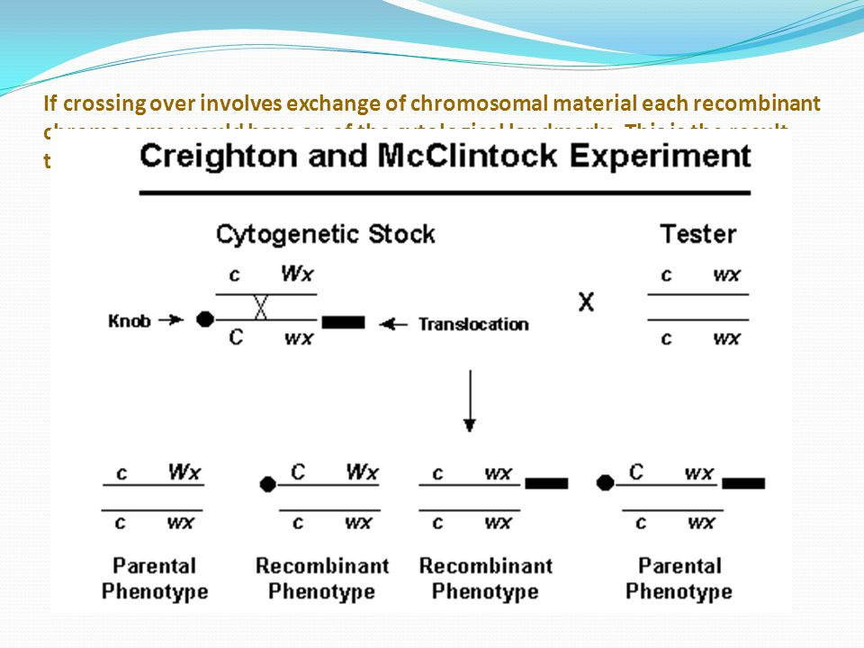 If crossing over involves exchange of chromosomal material each recombinant chromosome would have on of the cytological landmarks.