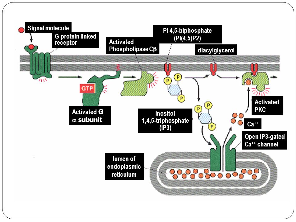 Signal molecule PI 4,5-biphosphate. (PI(4,5)P2) G-protein linked. receptor. Activated. Phospholipase Cb.
