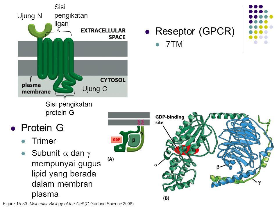 Reseptor (GPCR) Protein G 7TM Trimer