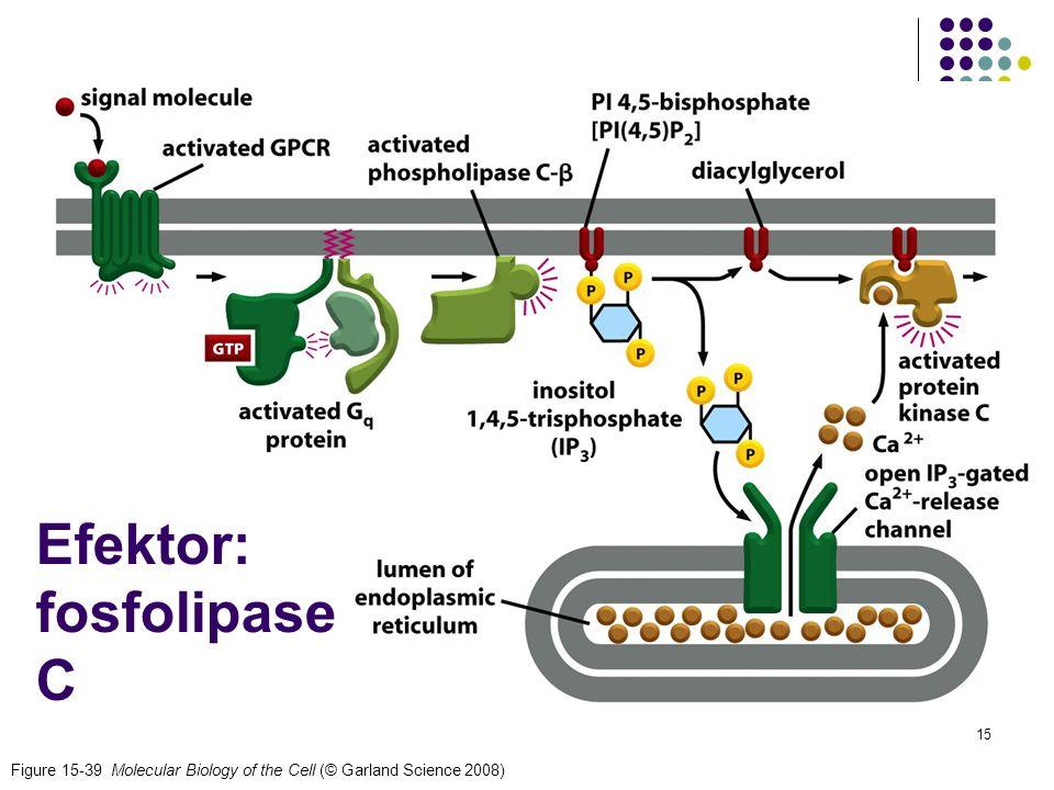 Efektor: fosfolipase C
