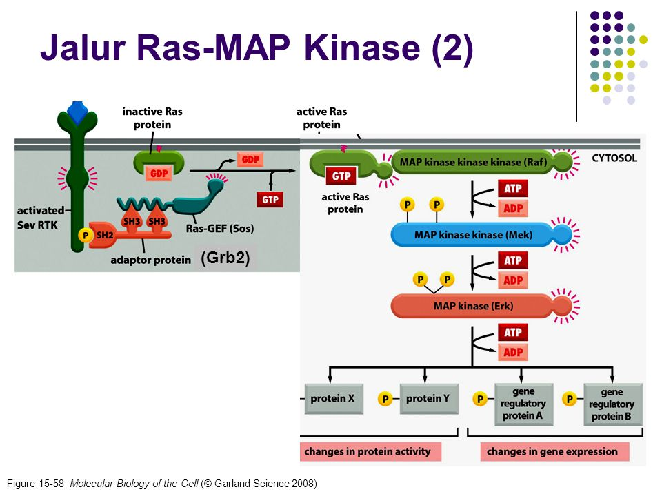 Jalur Ras-MAP Kinase (2)