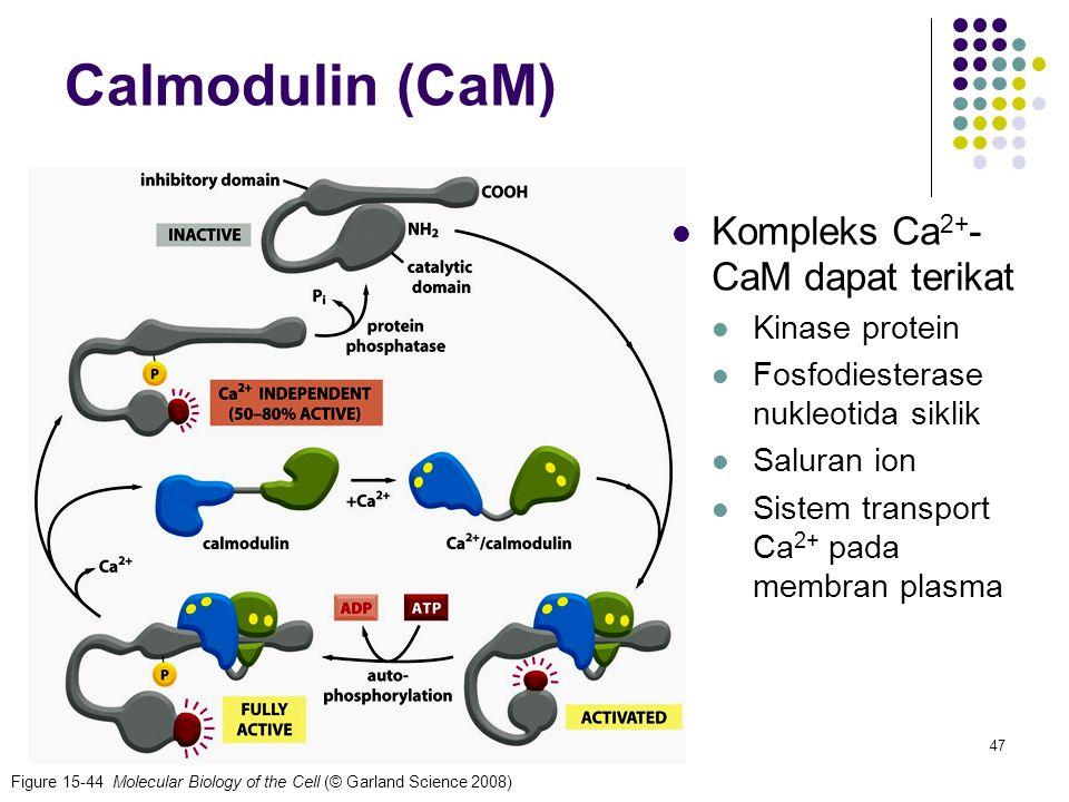 Calmodulin (CaM) Kompleks Ca2+-CaM dapat terikat Kinase protein