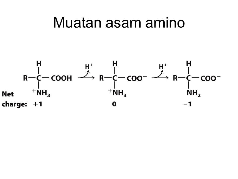 Muatan asam amino