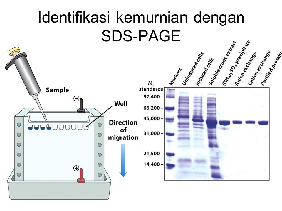 Identifikasi kemurnian dengan SDS-PAGE