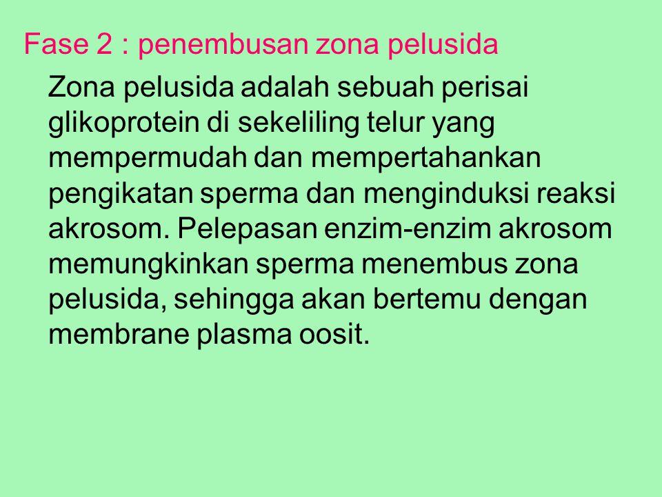 Fase 2 : penembusan zona pelusida