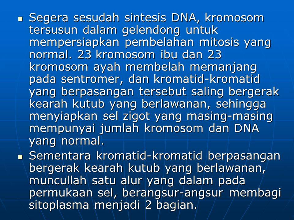 Segera sesudah sintesis DNA, kromosom tersusun dalam gelendong untuk mempersiapkan pembelahan mitosis yang normal. 23 kromosom ibu dan 23 kromosom ayah membelah memanjang pada sentromer, dan kromatid-kromatid yang berpasangan tersebut saling bergerak kearah kutub yang berlawanan, sehingga menyiapkan sel zigot yang masing-masing mempunyai jumlah kromosom dan DNA yang normal.