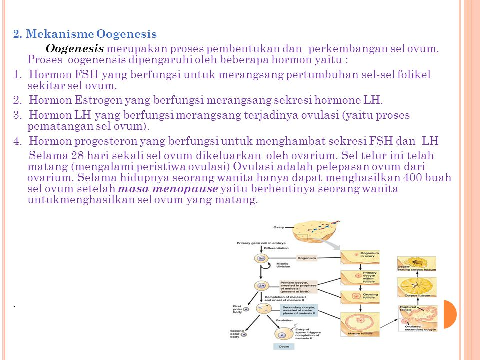 2. Mekanisme Oogenesis Oogenesis merupakan proses pembentukan dan perkembangan sel ovum.
