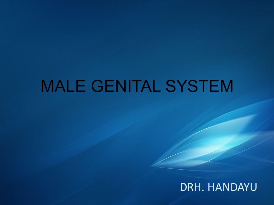 MALE GENITAL SYSTEM DRH. HANDAYU