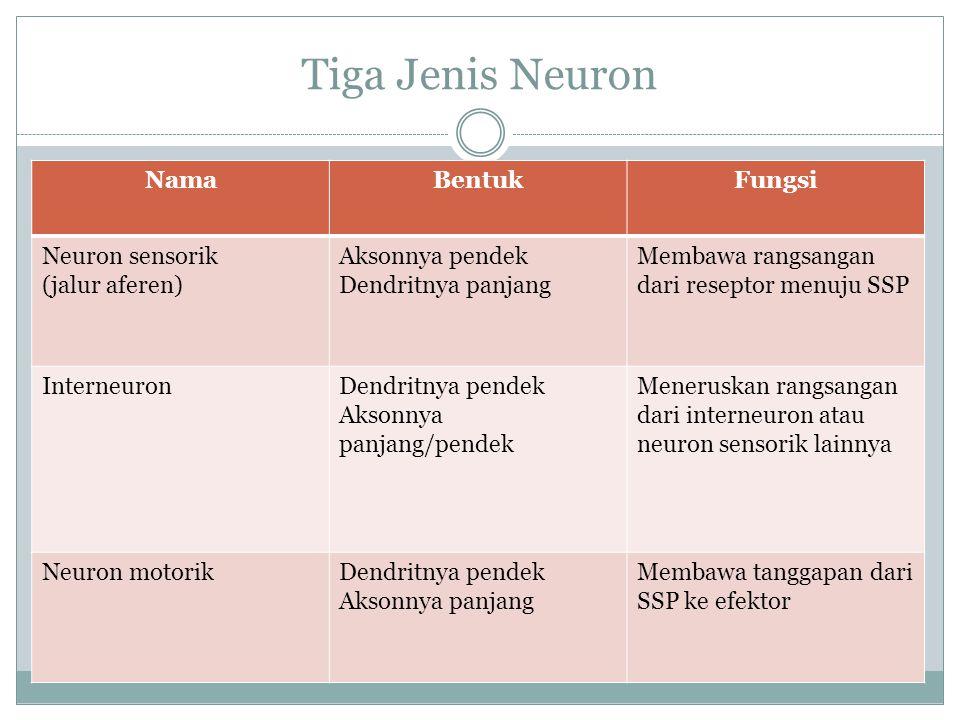 Tiga Jenis Neuron Nama Bentuk Fungsi Neuron sensorik (jalur aferen)