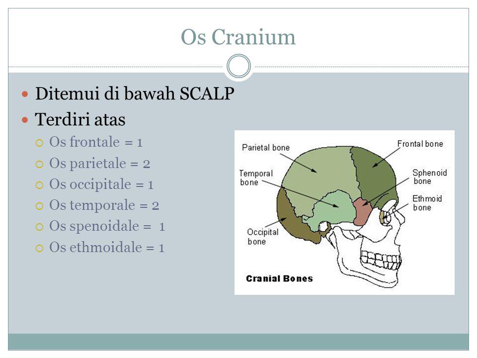 Os Cranium Ditemui di bawah SCALP Terdiri atas Os frontale = 1