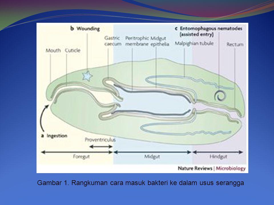 Gambar 1. Rangkuman cara masuk bakteri ke dalam usus serangga