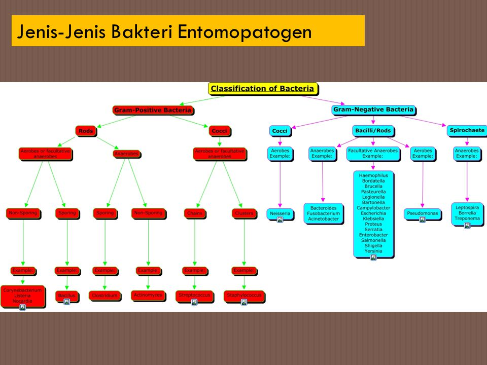 Jenis-Jenis Bakteri Entomopatogen