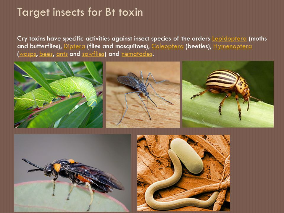 Target insects for Bt toxin