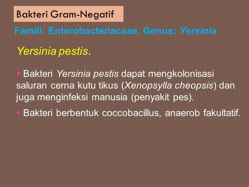 Bakteri Gram-Negatif Yersinia pestis.